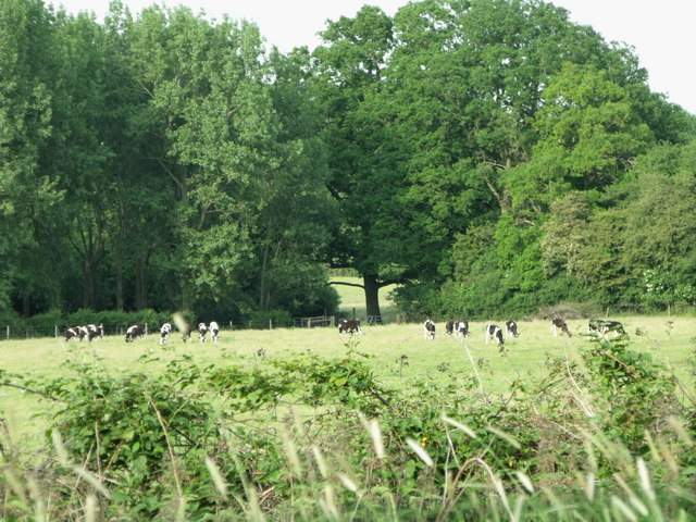 Field of cattle near Southwater, West Sussex
