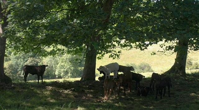 Calves near Gollege