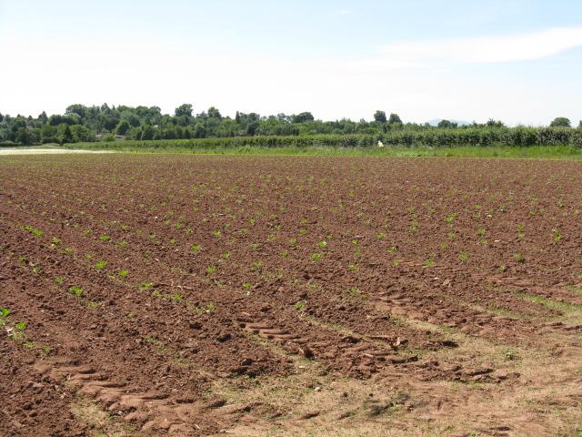 Field near Woodfield Cedars