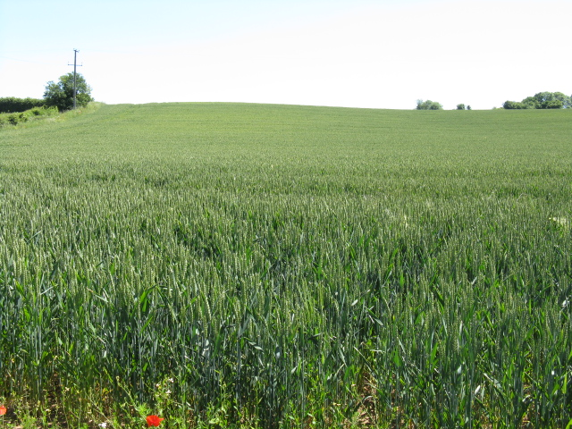 Wheatfield off Parsons Lane