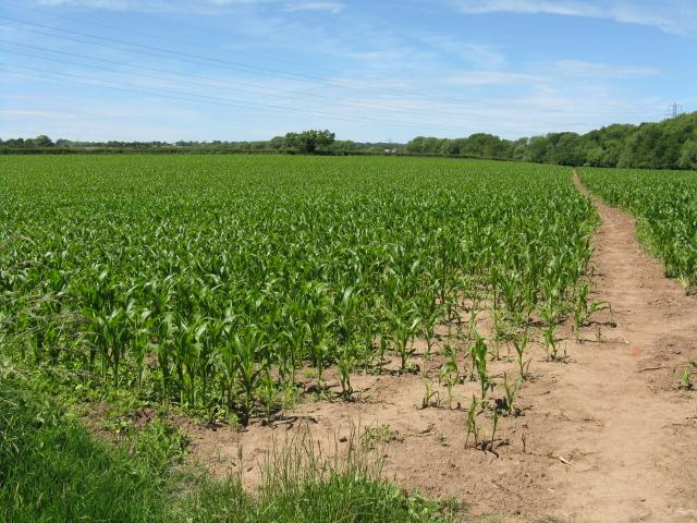 Footpath through the crops