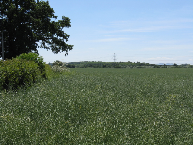 Crops by the lane to Southall Farm