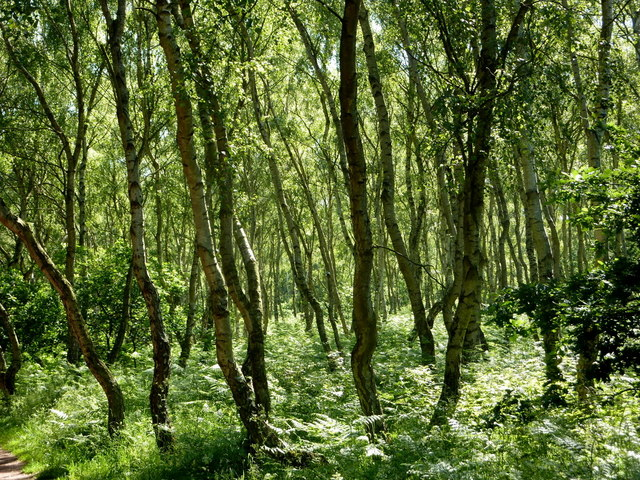 Birch trees in Sherwood Forest
