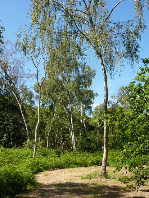 Birch trees in Sherwood Forest