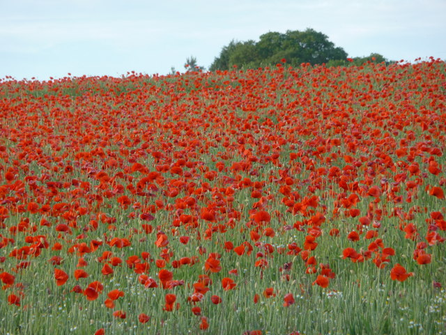 Poppy field on a  June evening