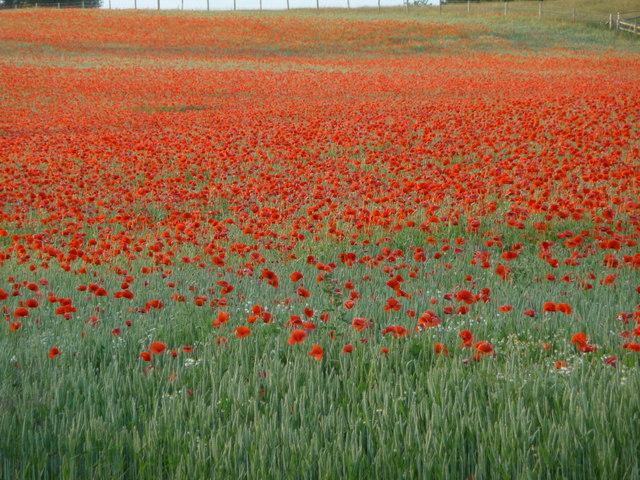 Poppies in a Shropshire meadow