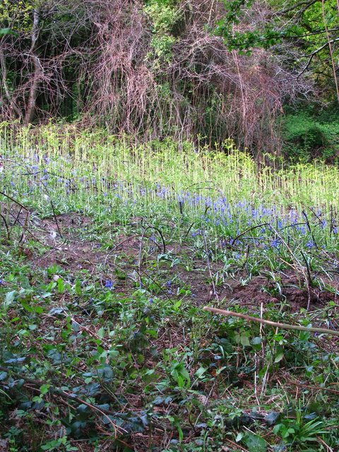 Bluebells on a Bank