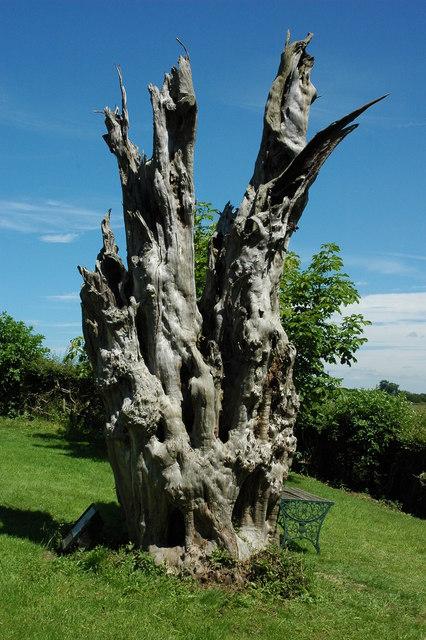 Dead tree, Weethley