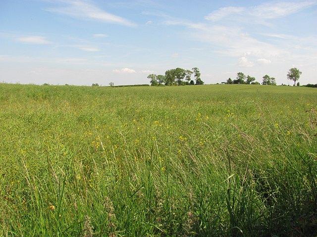 Oilseed rape, Edington