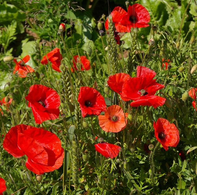Roadside Poppies near North Wold Farm
