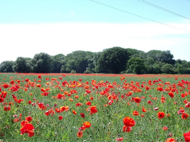 Moor Plantation through the poppies