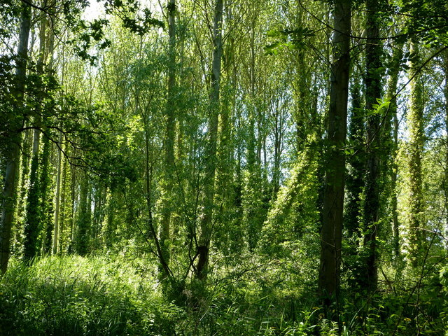 Trees by the path through Elkesley Wood