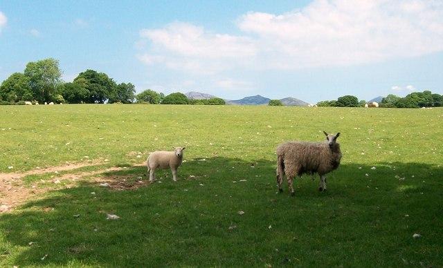 Sheep north of the Efailnewydd-Gorphwysfa road