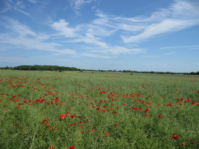 Poppies alongside The Fosseway