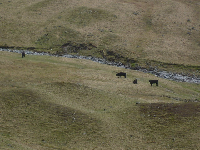The wild black cattle of Ennerdale