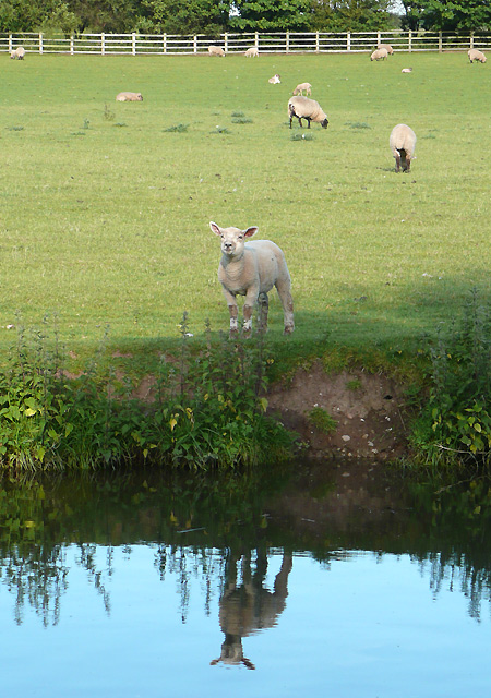 Lamb grazing by the canal at Penkridge, Staffordshire