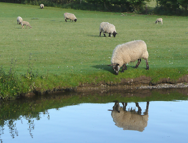 Sheep grazing by the canal at Penkridge, Staffordshire