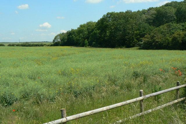 Rape crop and woodland