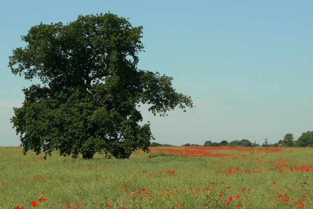 Oak and poppies
