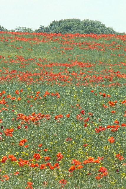 Poppies near Bradmore