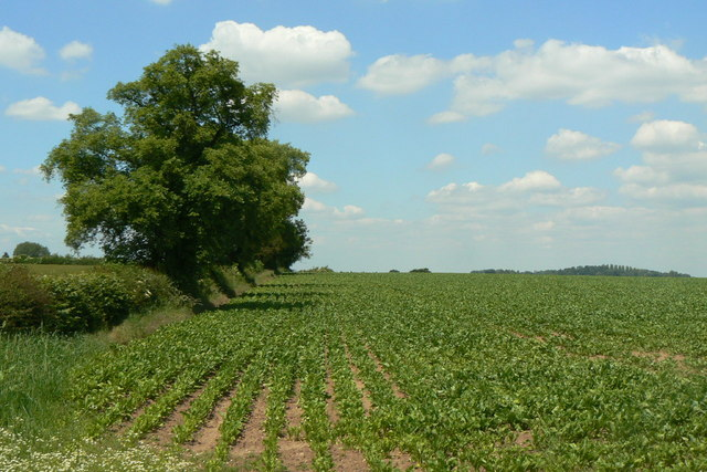 Hedgerow trees and beet crop