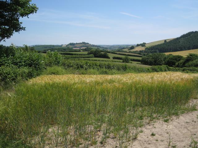 Ripening barley, Neilgate Corner