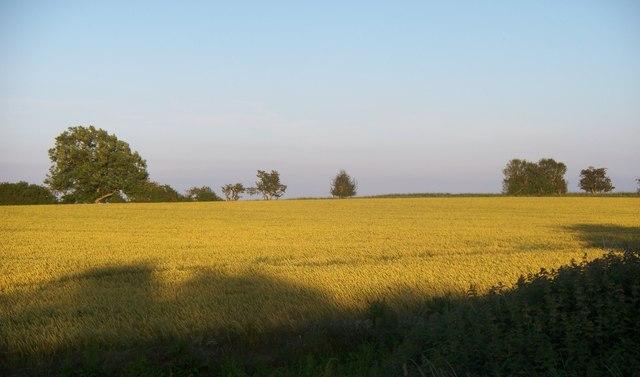 Summer evening sun on maturing crop