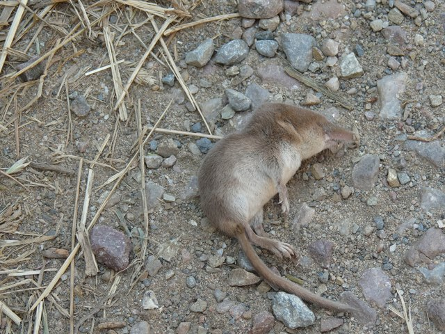 One Shrew (deceased) on Vention Road
