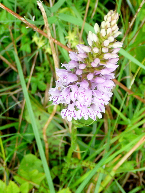 Common Spotted Orchid, Dactylorhiza fuchsii