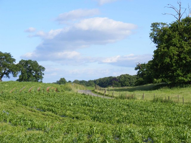 Maize field near Combermere Abbey