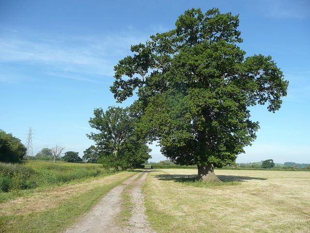 Oak on the Severn floodplain