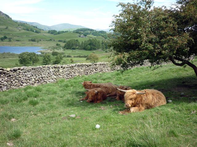 Highland cattle, Little Langdale