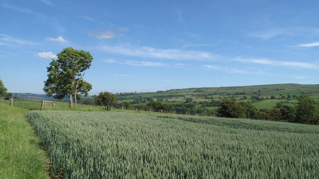 Ripening Wheat Field, Weardale