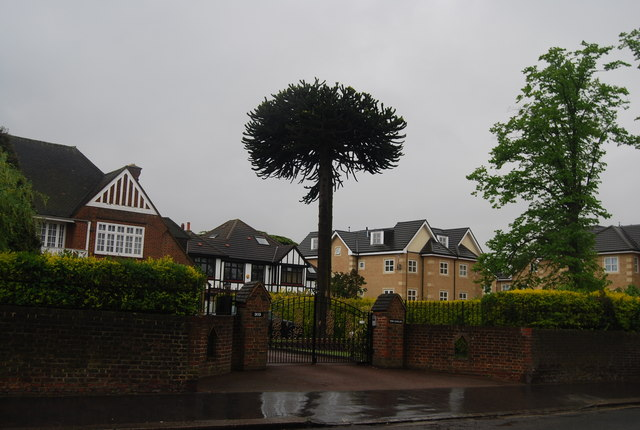 Interesting tree, Beulah Hill (A215)