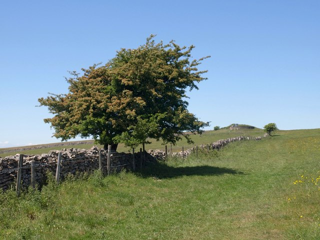 Hawthorn near Priddy Nine Barrows