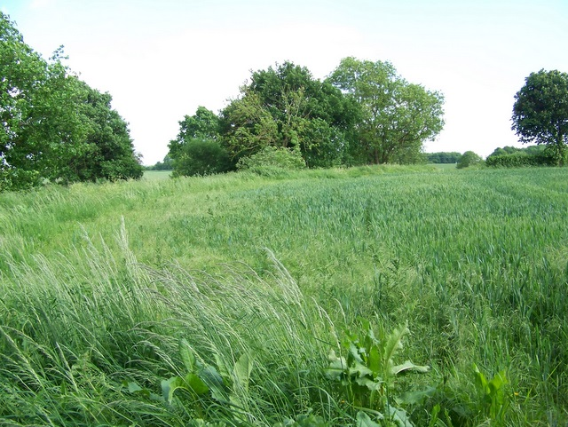 Wheat field, Wolfhall