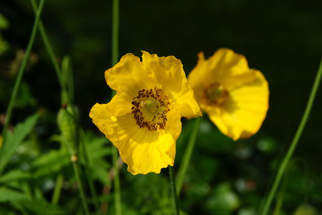 Welsh Poppies, Lingfield, Surrey