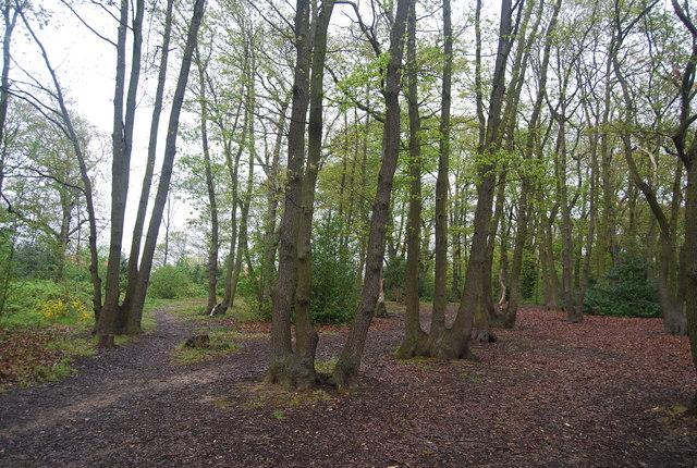 Coppiced trees, Biggin Wood
