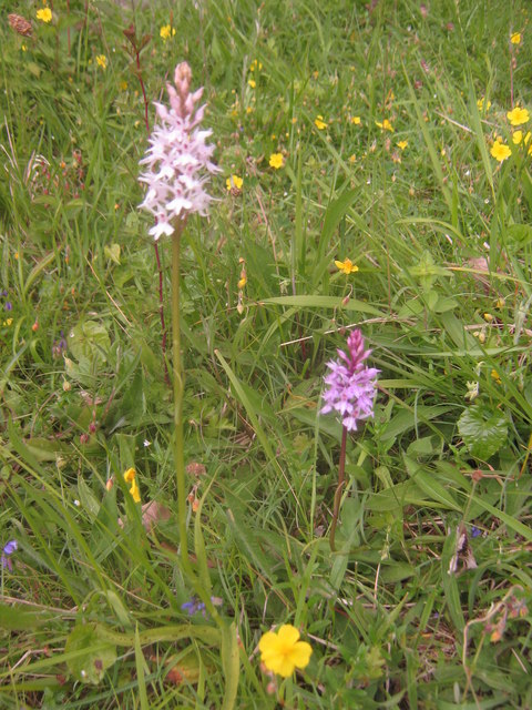 Orchids in Yockletts Banks Meadow