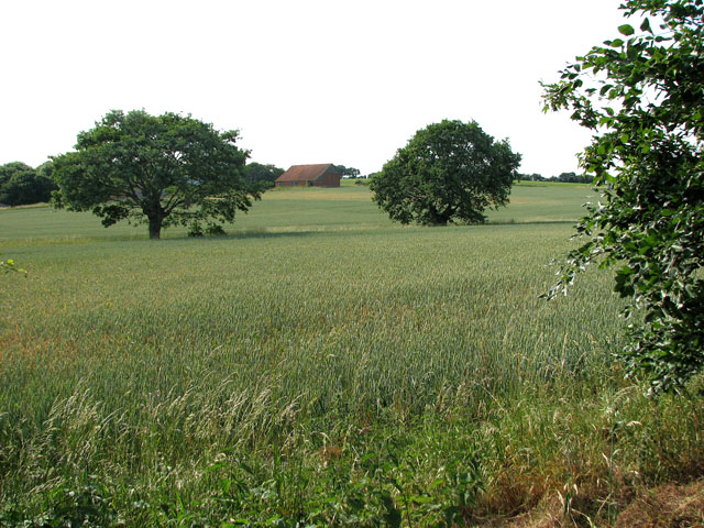 Wheat field east of St Michael's church, Cookley