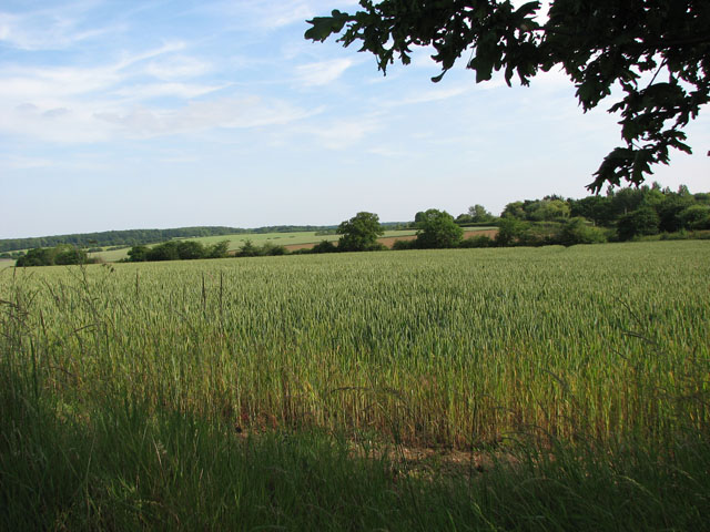 Wheat field north of Cookley Green