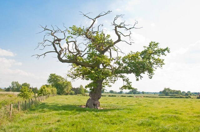 Oak tree at Broad Oak