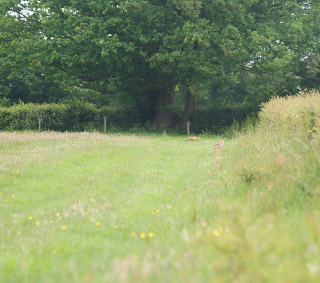 Foxes Near Newchapel, Surrey
