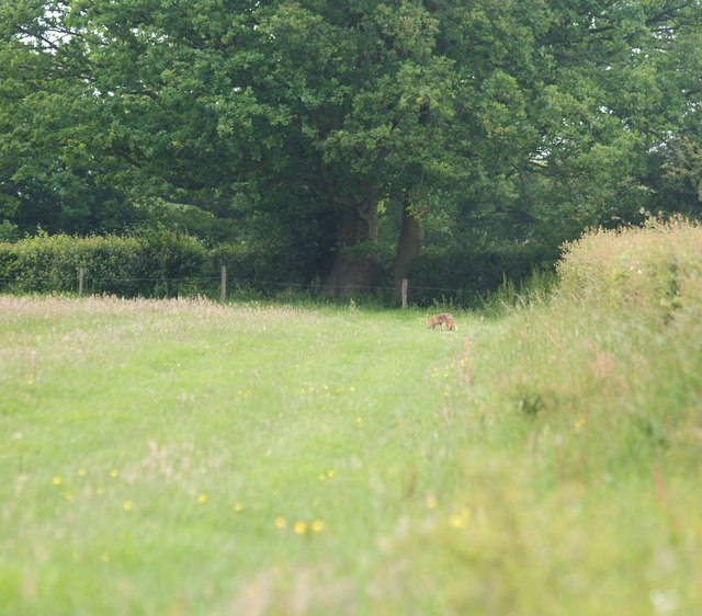 Fox Near Newchapel, Surrey