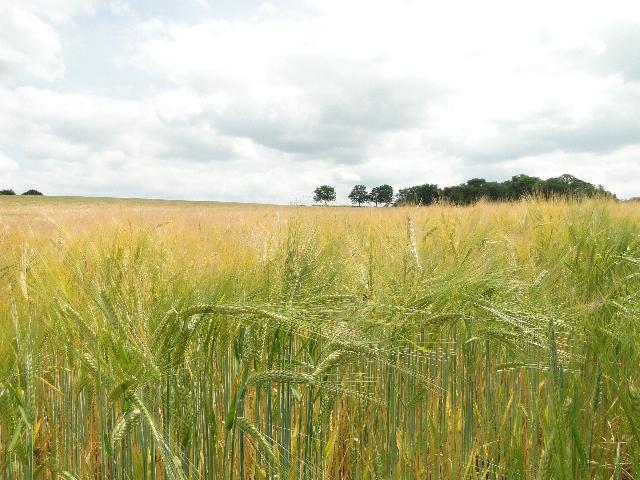 Field of Barley 2