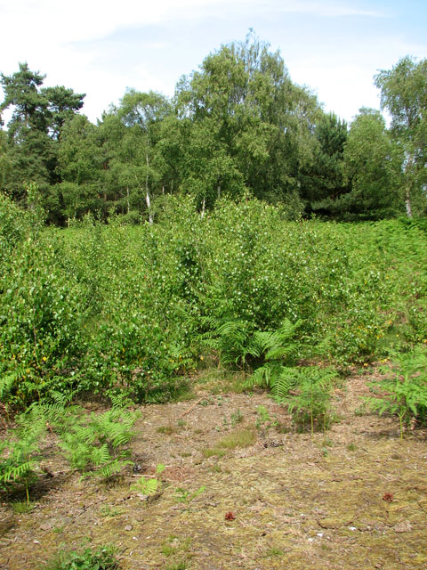 Young birch trees and ferns in Walberswick National Nature Reserve