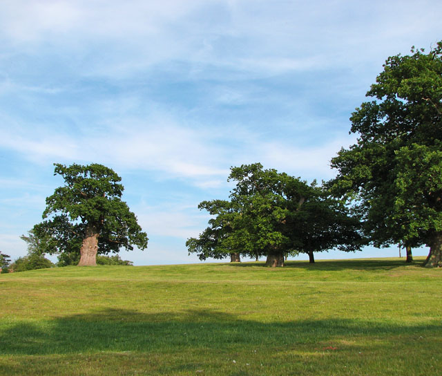 Old oak trees in pasture south-west of Heveningham Hall