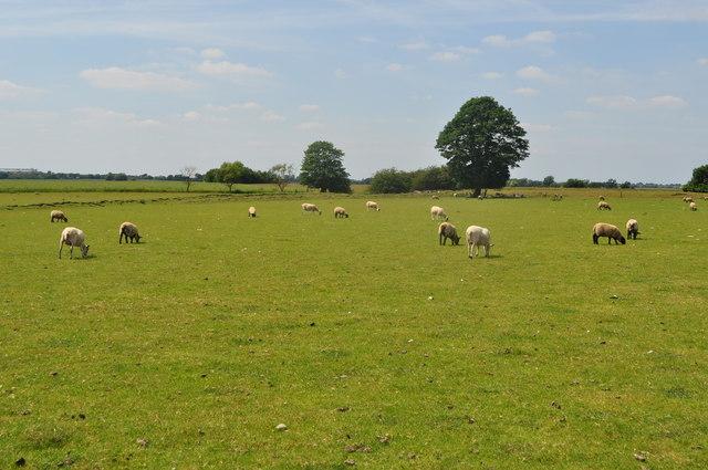 Sheep at the Fort