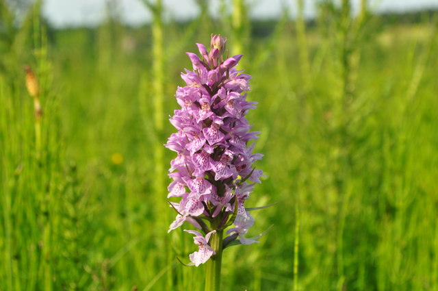 Orchid at Sisland