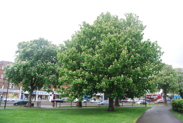 Chestnut trees, Streatham Common